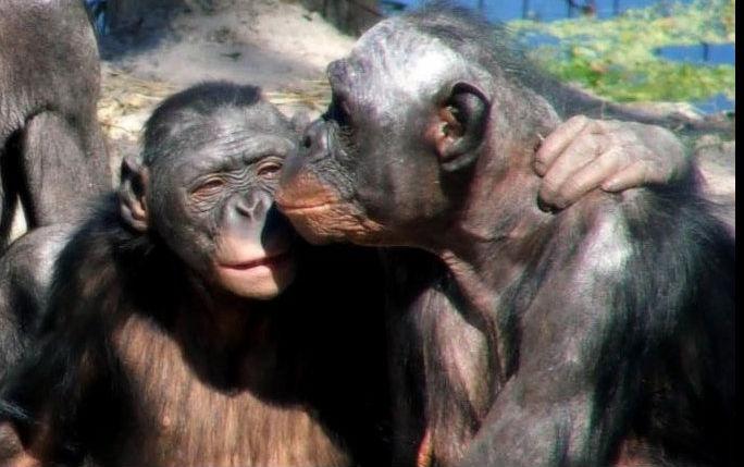 Scimpanze Geneticamente Modificati