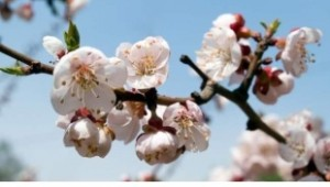 Cherry Plum,  Susino Asiatico: è legato al principio dell'apertura e della rilassatezza