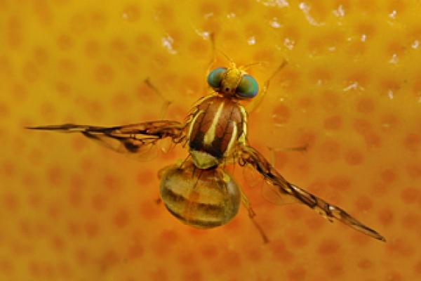 mosche frutta
