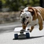 Bulldog sullo skate