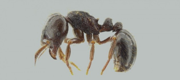 formica predatrice 5
