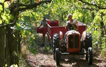Emilia Romagna e Sangiovese: sagre ed eventi della vendemmia 2013