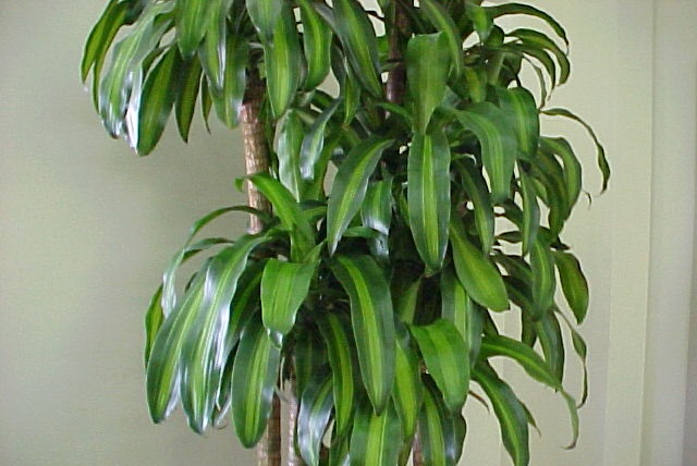 Dracaena  Great Indoor House Plants!