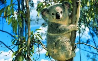 S.O.S Koala, il piccolo marsupiale a rischio estinzione