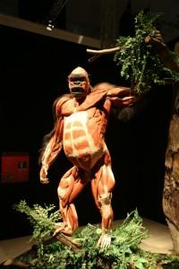 Gorilla mostra Body Worlds