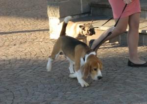 Esposizione canina erba2013 1