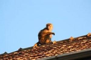 Scimmia incastrata sotto il treno