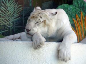 Tigre bianca a riposo