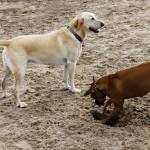 cane che scava buca