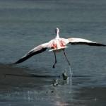 fenicottero Primavera Slow delta del Po