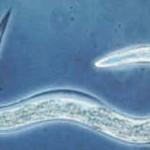 Cearnohabtidis elegans
