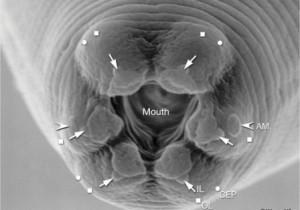 Cearnohabtidis elegans verme