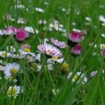 dettaglio fiori di campo