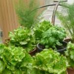 verdura in vaso