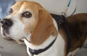 Cane beagle