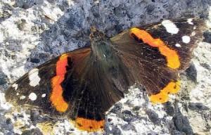 Farfalle scure