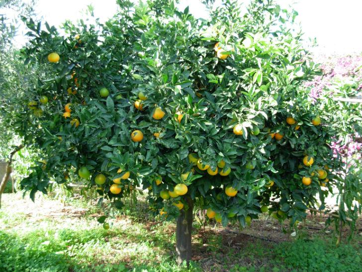 Frutta urbana un progetto per consumare la frutta della for Albero da frutto nano