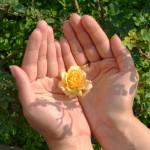 rosa in mano