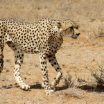 ghepardo iran