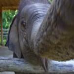 elephant selfie 1