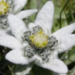 stella alpina crema antirughe