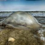 Medusa spiaggiata a Bibione