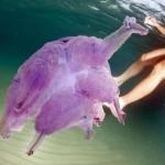 Meduse giganti in Sardegna