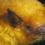 Pipistrello dorato nuova specie