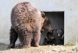 trentino orsa cuccioli attacca cercatore di funghi