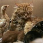 La gatta Nimra adotta sette pulcini