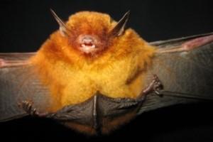 Pipistrello dorato vive in Bolivia
