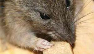 ratti rischia sfratto usa