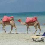 San Rossore 5 ottobre dromedari aiutano a pulire la spiaggia