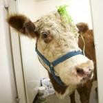 Milkshake la mucca che si sente un cane