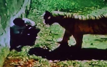 India orrore allo zoo: studente sbranato da tigre bianca