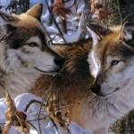 Flavio Tosi Autorizza l'abbattimento dei lupi