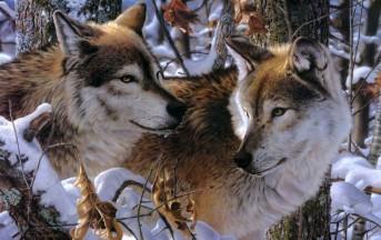 Verona: il sindaco Flavio Tosi autorizza ad abbattere i lupi, la Forestale lo denuncia