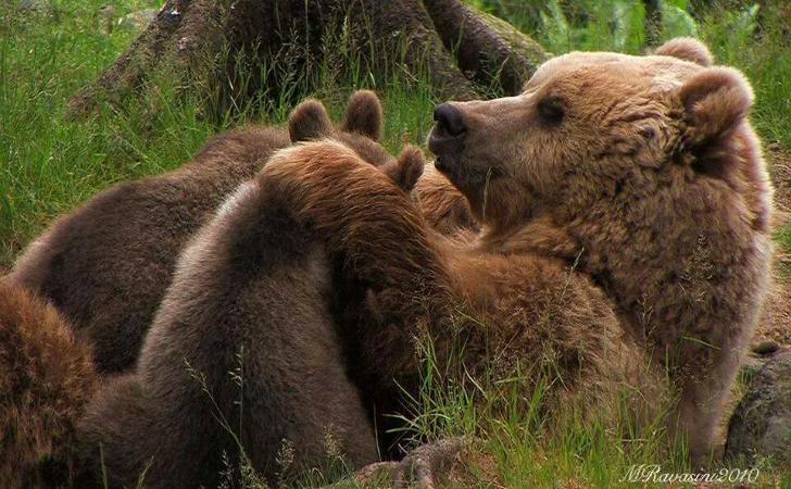 orsa uccisa in trentino