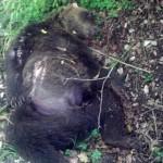 orso ucciso con fucilata