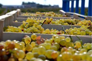 Favignana ritorna la produzione di vino