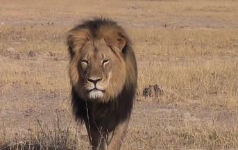 Zimbawe: dentista decapita e scuoia il leone simbolo della riserva, non è la prima volta