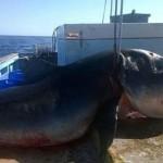 squalo sei metri catturato in australia