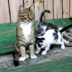 colonia felina gatti roma