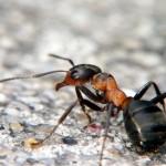 formiche in casa, come eliminarle, rimedi fai da te