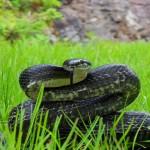 antidoto morso serpente allarme