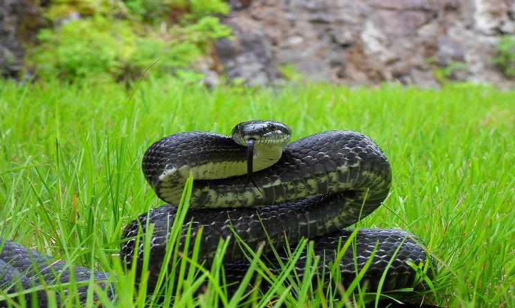 Allarme mondiale l 39 antidoto contro il morso dei serpenti for Veleno per serpenti