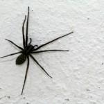 ragni in casa, rimedi naturali, come tenere lontani i ragni