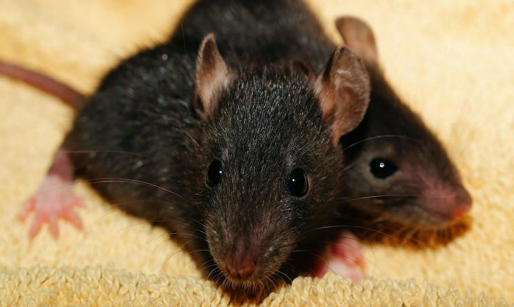 Topi in casa come eliminare questi piccoli intrusi con - Come uccidere i topi in casa ...