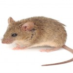 uomo dei topi