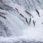 salmone ogm, salmone geneticamente modificato, salmone transgenico,